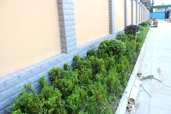 绕着围墙的绿植逐渐茂密起来图片
